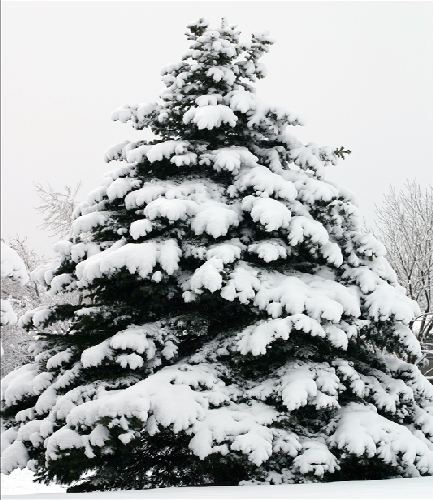Douglas Fir in Snow