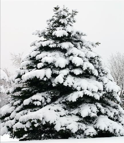 Douglas Fir in Snow